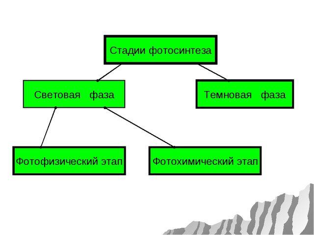 Световая фаза Стадии фотосинтеза Темновая фаза Фотофизический этап Фотохимиче...