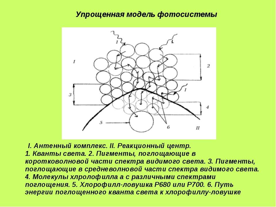 I.Антенный комплекс. II.Реакционный центр. 1.Кванты света. 2.Пигменты, п...