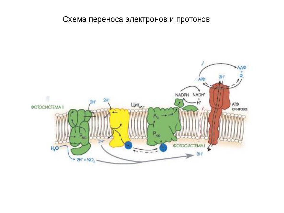 Схема переноса электронов и протонов