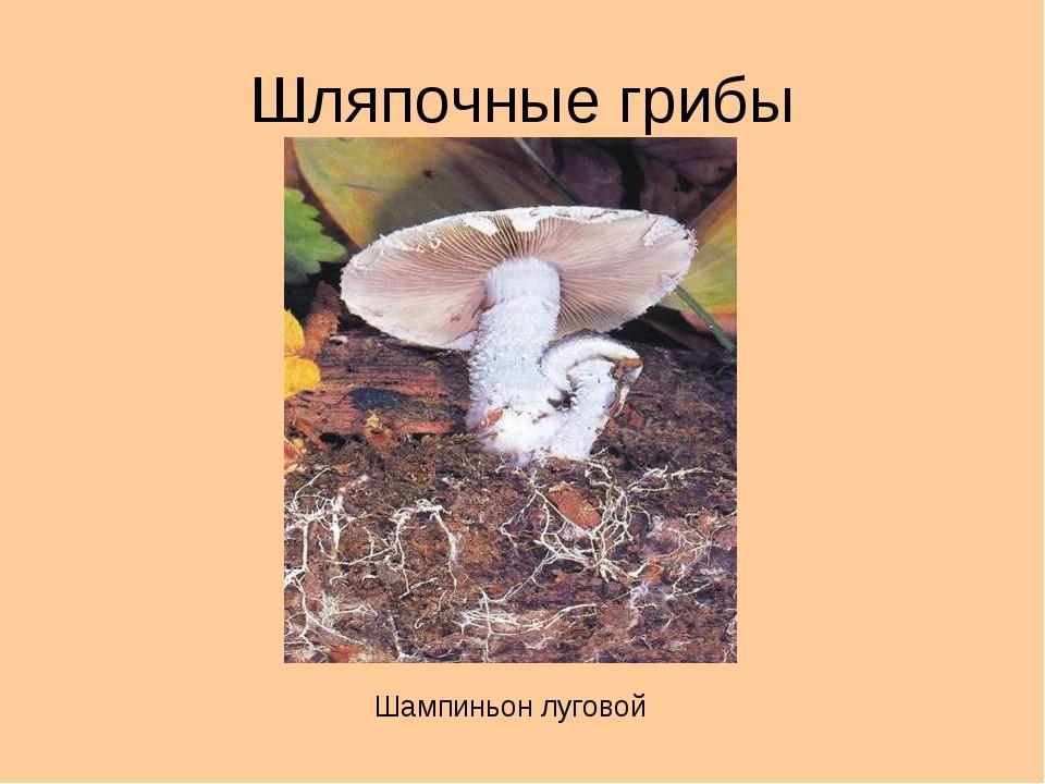 Шляпочные грибы Шампиньон луговой