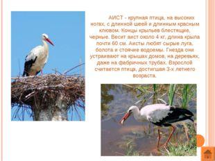 АИСТ - крупная птица, на высоких ногах, с длинной шеей и длинным красным клю