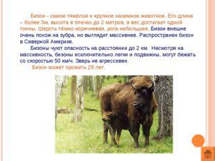 Бизон - самое тяжёлое и крупное наземное животное. Его длина – более 3м, выс