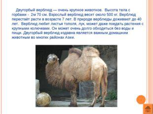 Двугорбый верблюд — очень крупное животное. Высота тела с горбами - 2м 70 см