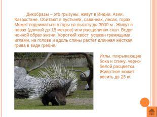 Дикобразы – это грызуны, живут в Индии, Азии, Казахстане. Обитают в пустынях