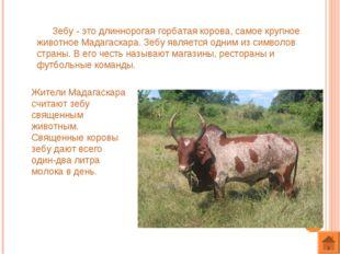 Зебу - это длиннорогая горбатая корова, самое крупное животное Мадагаскара.
