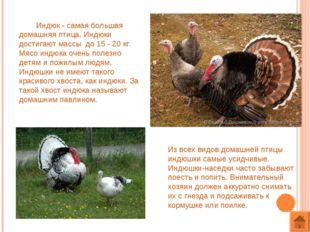 Индюк - самая большая домашняя птица. Индюки достигают массы до 15 - 20 кг.
