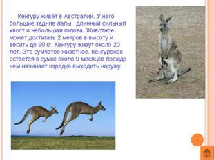Кенгуру живёт в Австралии. У него большие задние лапы, длинный сильный хвост