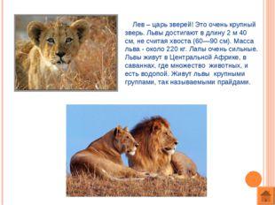 Лев – царь зверей! Это очень крупный зверь. Львы достигают в длину 2 м 40 см