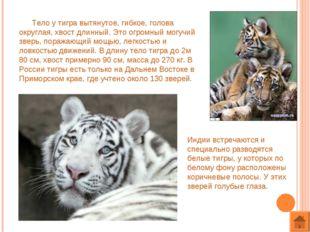 Тело у тигра вытянутое, гибкое, голова округлая, хвост длинный. Это огромный