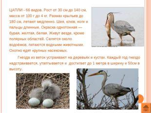 ЦАПЛИ - 66 видов. Рост от 30 см до 140 см, масса от 100 г до 4 кг. Размах кры