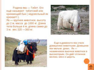 Родина яка — Тибет. Его ещё называют тибетский или хрюкающий бык ( недовольн