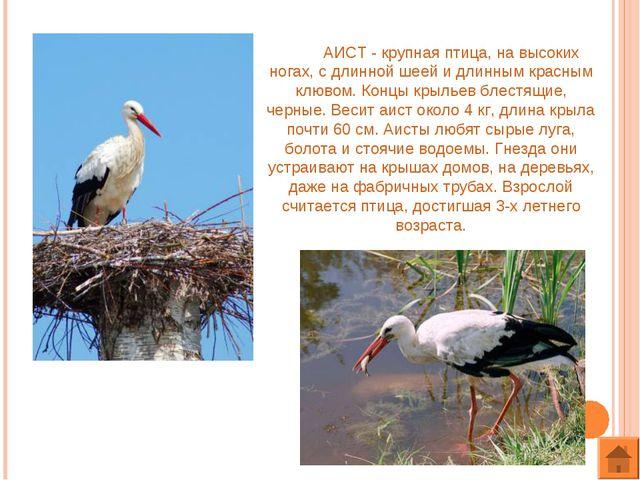АИСТ - крупная птица, на высоких ногах, с длинной шеей и длинным красным клю...