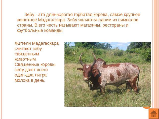 Зебу - это длиннорогая горбатая корова, самое крупное животное Мадагаскара....