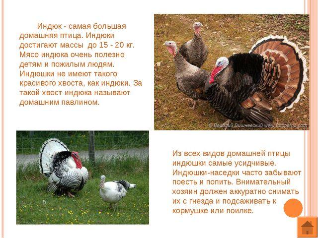 Индюк - самая большая домашняя птица. Индюки достигают массы до 15 - 20 кг....