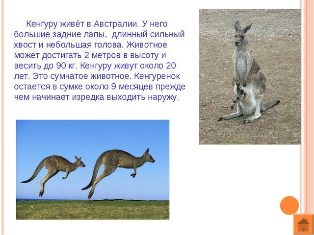 Кенгуру живёт в Австралии. У него большие задние лапы, длинный сильный хвост...