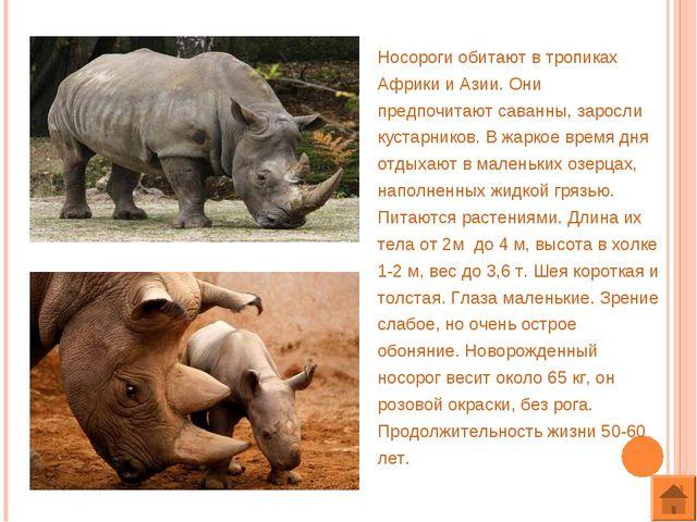 Носороги обитают в тропиках Африки и Азии. Они предпочитают саванны, заросли...