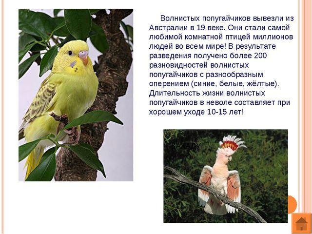 Волнистых попугайчиков вывезли из Австралии в 19 веке. Они стали самой любим...