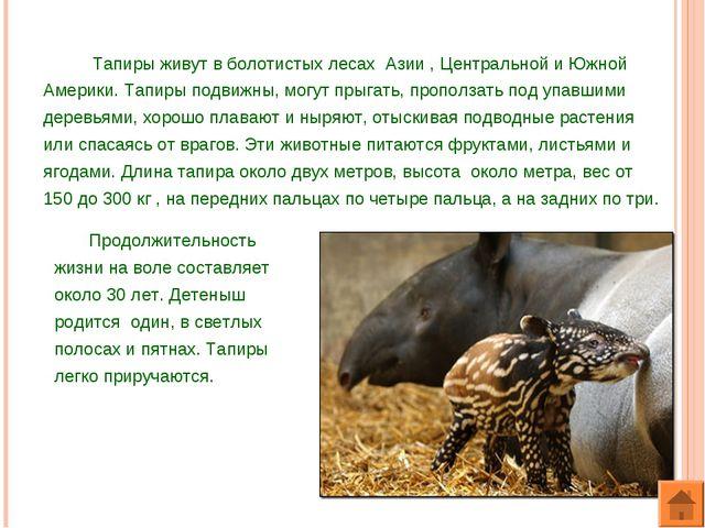 Тапиры живут в болотистых лесах Азии , Центральной и Южной Америки. Тапиры п...