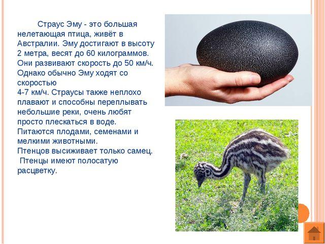 Страус Эму - это большая нелетающая птица, живёт в Австралии. Эму достигают...