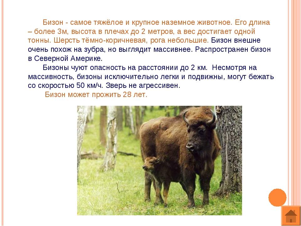 Бизон - самое тяжёлое и крупное наземное животное. Его длина – более 3м, выс...
