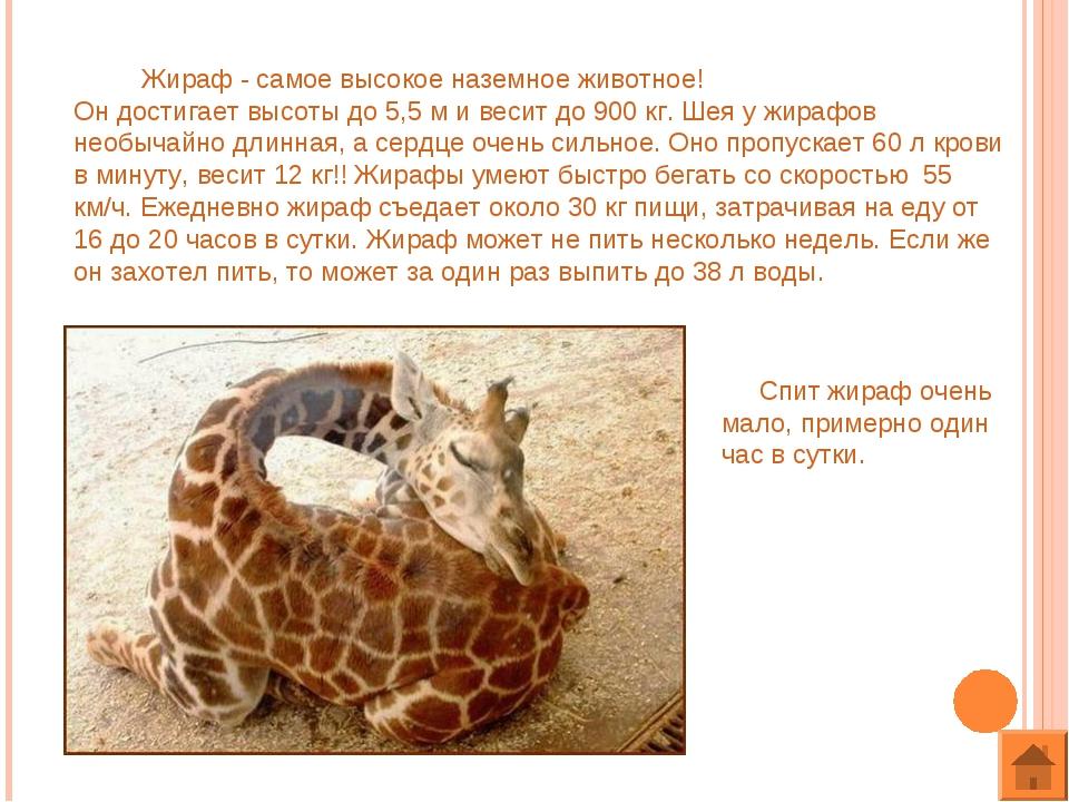 Жираф - самое высокое наземное животное! Он достигает высоты до 5,5 м и веси...