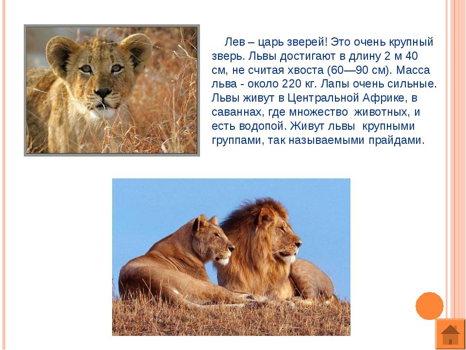 Лев – царь зверей! Это очень крупный зверь. Львы достигают в длину 2 м 40 см...