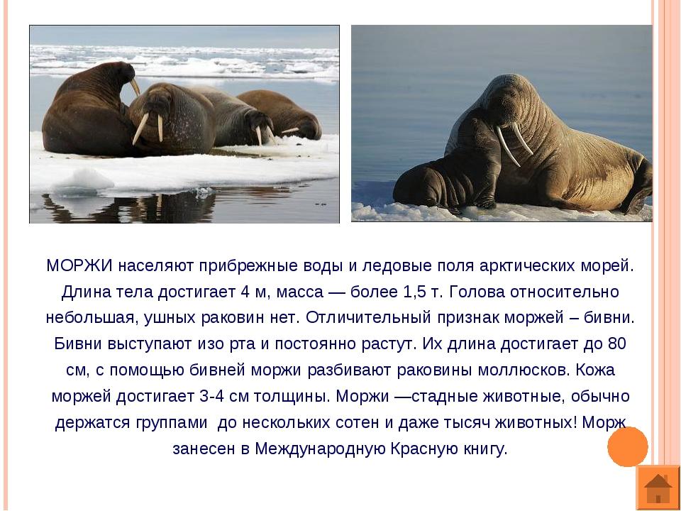 МОРЖИ населяют прибрежные воды и ледовые поля арктических морей. Длина тела д...