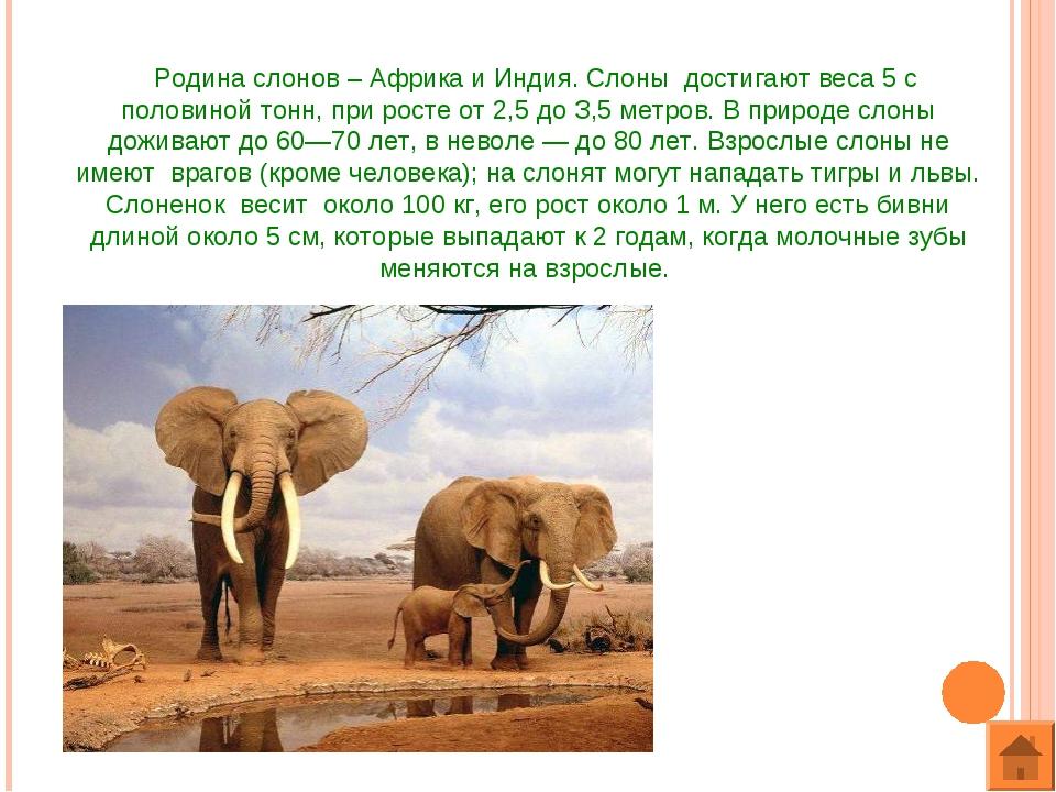 Родина слонов – Африка и Индия. Слоны достигают веса 5 с половиной тонн, при...