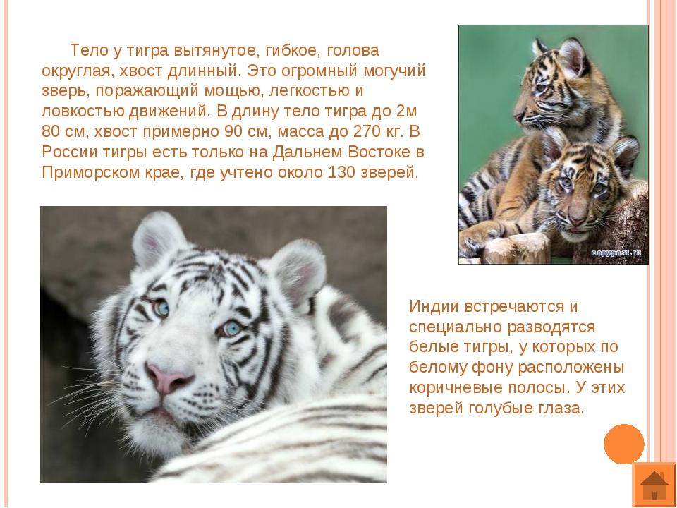 Тело у тигра вытянутое, гибкое, голова округлая, хвост длинный. Это огромный...