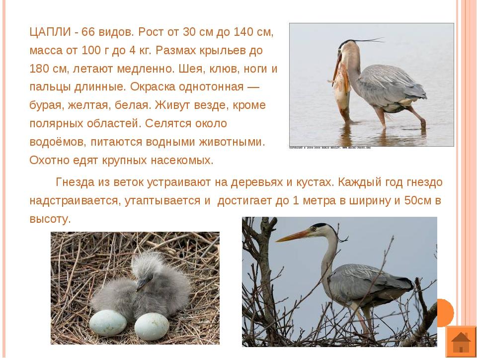 ЦАПЛИ - 66 видов. Рост от 30 см до 140 см, масса от 100 г до 4 кг. Размах кры...