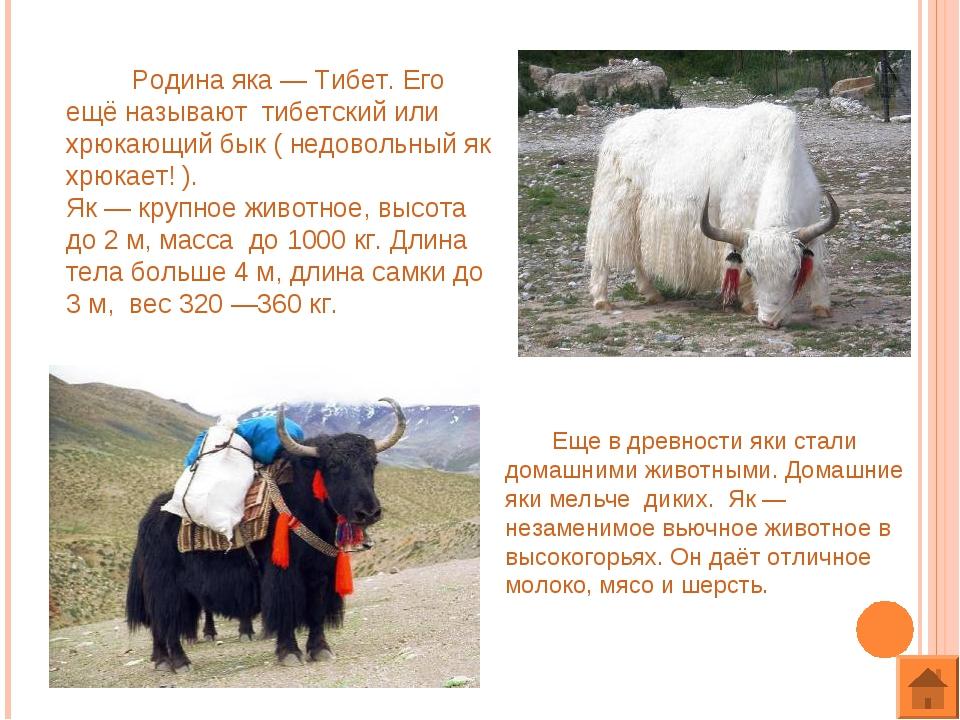 Родина яка — Тибет. Его ещё называют тибетский или хрюкающий бык ( недовольн...
