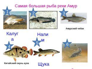 Калуга Самая большая рыба реки Амур Осетр Щука Налим Китайский окунь ауха Аму