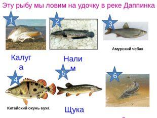 Калуга Эту рыбу мы ловим на удочку в реке Даппинка Осетр Щука Налим Китайский