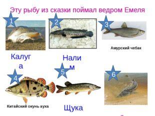 Калуга Эту рыбу из сказки поймал ведром Емеля Осетр Щука Налим Китайский окун