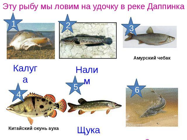 Калуга Эту рыбу мы ловим на удочку в реке Даппинка Осетр Щука Налим Китайский...