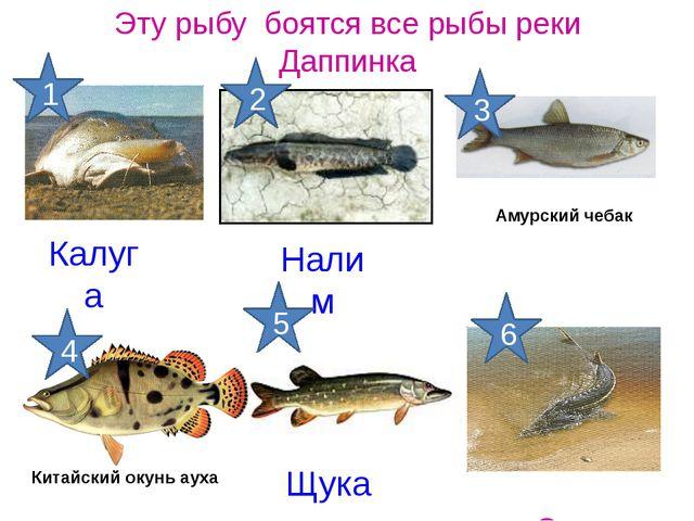 Калуга Эту рыбу боятся все рыбы реки Даппинка Осетр Щука Налим Китайский окун...