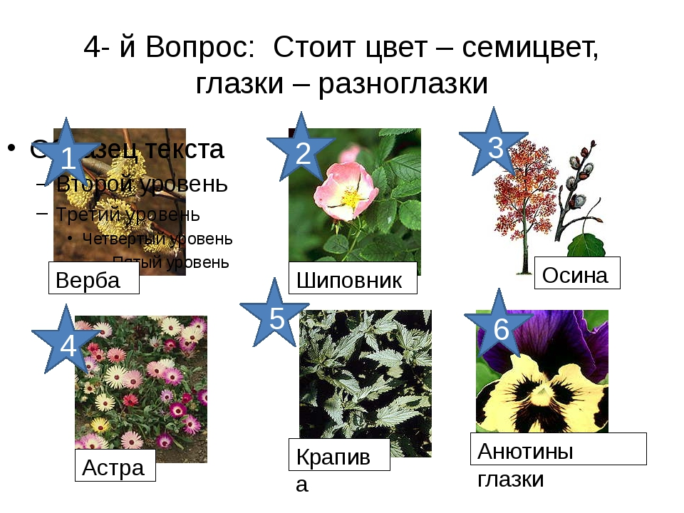 4- й Вопрос: Стоит цвет – семицвет, глазки – разноглазки 6 5 4 3 2 1 Верба Ши...