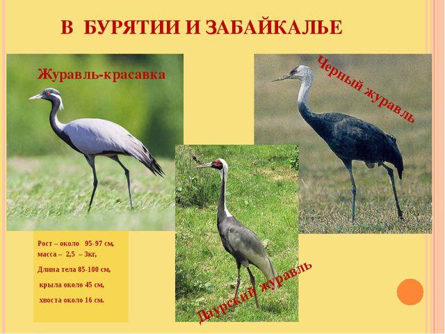 Рост – около   95-97 см,  масса –  2,5  – 3кг, Длина тела 85-100 см,  крыл...