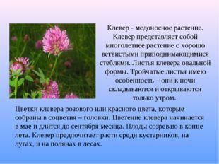 Клевер - медоносное растение. Клевер представляет собой многолетнее растение