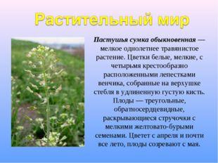 Пастушья сумка обыкновенная — мелкое однолетнее травянистое растение. Цветки