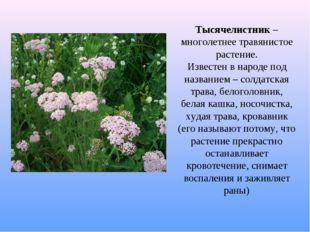 Тысячелистник – многолетнее травянистое растение. Известен в народе под назва