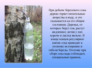 При добыче березового сока дерево теряет питательные вещества и воду, и это с