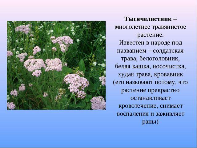 Тысячелистник – многолетнее травянистое растение. Известен в народе под назва...