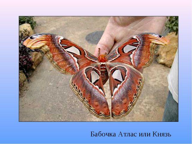 Бабочка Атлас или Князь