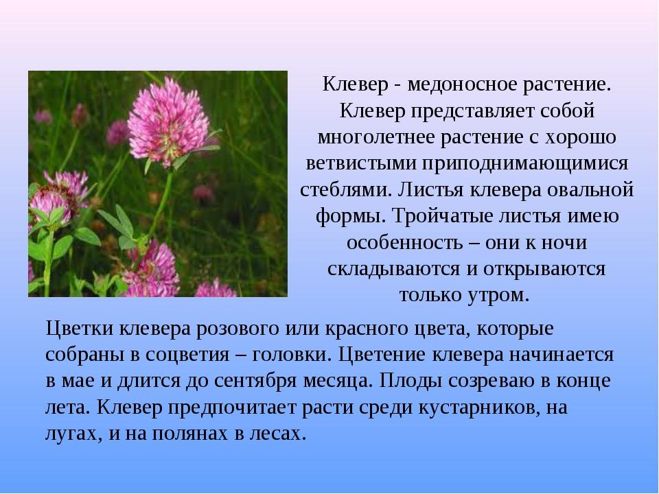 Клевер - медоносное растение. Клевер представляет собой многолетнее растение...