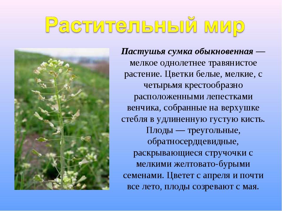 Пастушья сумка обыкновенная — мелкое однолетнее травянистое растение. Цветки...