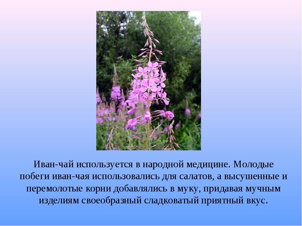 Иван-чай используется в народной медицине. Молодые побеги иван-чая использова...