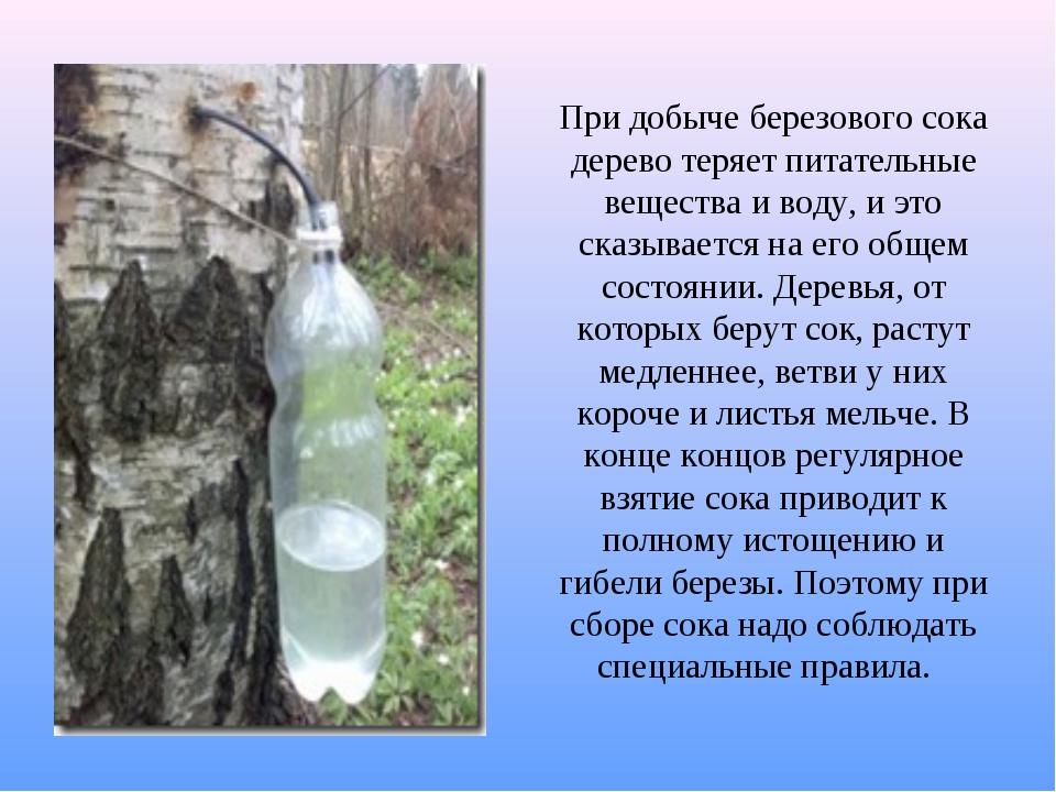 При добыче березового сока дерево теряет питательные вещества и воду, и это с...