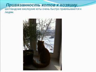 Привязанность котов к хозяину. Шотландские вислоухие коты очень быстро привя