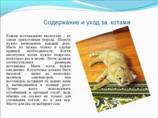 Содержание и уход за котами Кошки шотландские вислоухие – не самая прихотлива